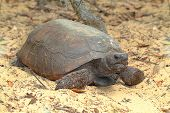 image of gopher  - Gopher Tortoise  - JPG