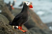 stock photo of naturalist  - Portrait Tufted puffin - JPG