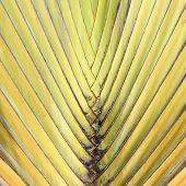 Travelers Palm Tree (ravenala Madagascariensis) poster