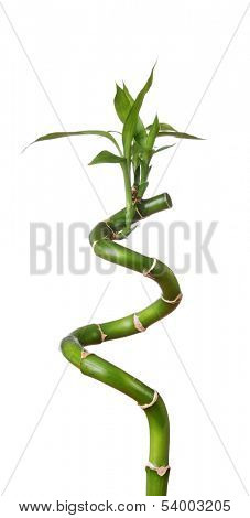 Stem of lucky bamboo isolated on white background