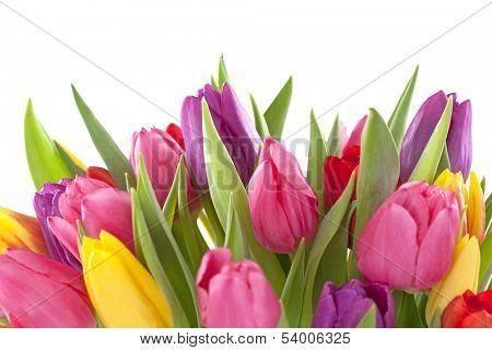 Tulip flowers on white background