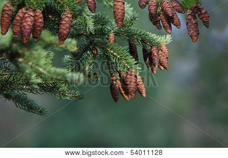 Cone Pine Tree