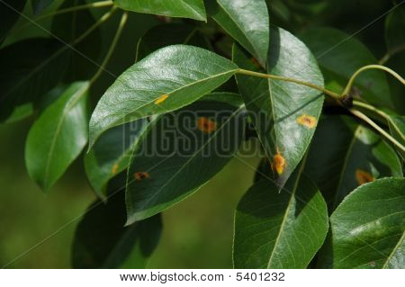 Pear Rust On Leaves