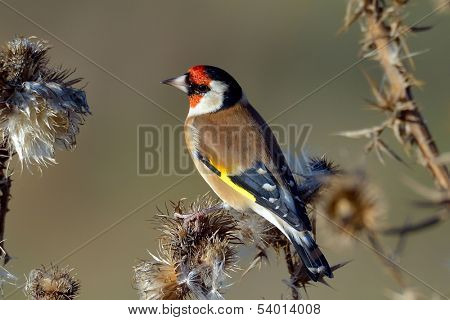 goldfinch (carduelis carduelis) in natural habitat