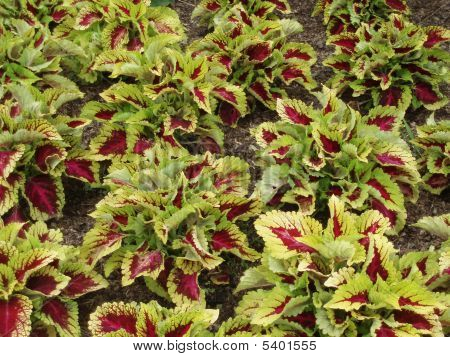 Background Green And Red Leaves