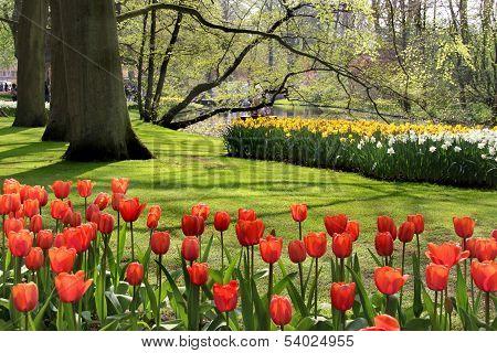 Lot Of Beautiful Vivid Tulips In The Park Keukenhof