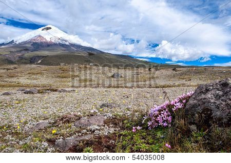 Cotopaxi Volcano Over The Plateau, Covered With Flowering Crocuses. Andean Highlands Of Ecuador