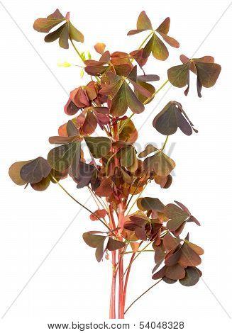 Oxalis Triangularis Flowers