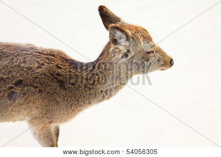 Deer Was Looking To Something