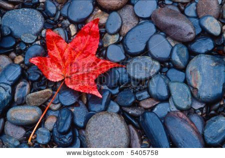Bright Red Fall Leaf
