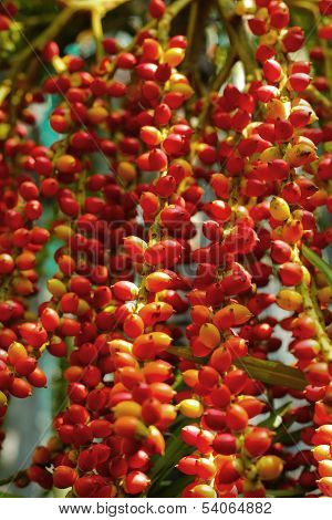 Ripe Betel Nut Red Balls - Betel Palm On Tree.