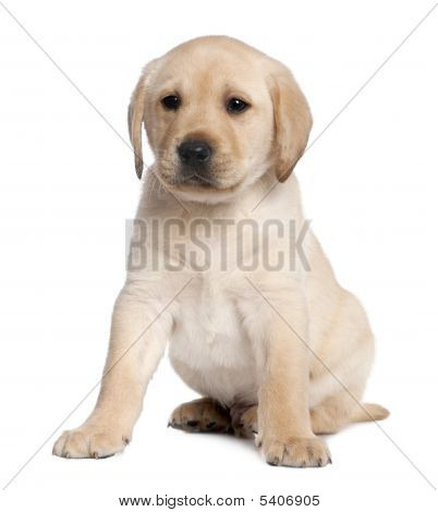 Labrador Puppy (6 Weeks Old)