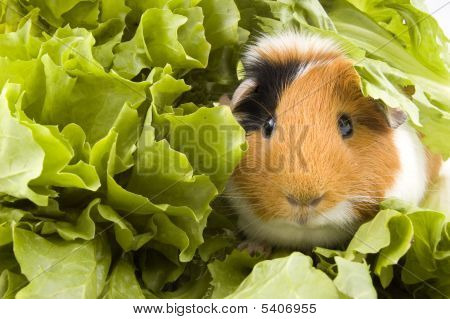Guinea Pig Is Sitting Between Endive Leafs