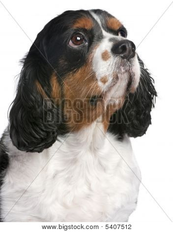 Close-up Cavalier King Charles Spaniel (4 Years Old)