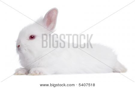 Profile Of A Young White Rabbit (5 Weeks Old)