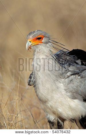 Portrait of a secretary bird (Sagittarius serpentarius), Kalahari, South Africa