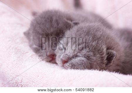 Portreit of Scottish-straight gray beautiful cats .