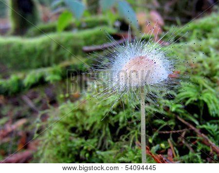 Moldy Mycena Mushroom