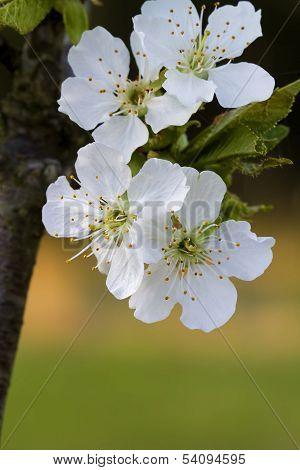 Bing Cherry Tree Background - Prunus avium