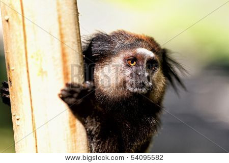 Black Lion Tamarin holding a post with blurred background