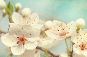 stock photo of apple blossom  - Cherry blossoms against  a blue sky - JPG