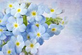 stock photo of forget me not  - Forget me not on blue background - JPG