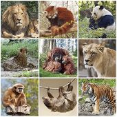 picture of pandas  - Animals collage with lion - JPG