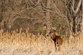 stock photo of buck  - Whitetail Deer Buck standing in a field - JPG