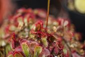 stock photo of carnivorous plants  - a carnivorous plant as a dionea carnivora - JPG