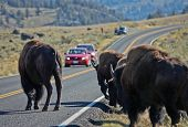 stock photo of lamar  - Buffalo herd over Road in Yellowstone National Park - JPG