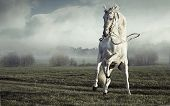 picture of galloping horse  - Wild white horse - JPG