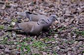 pic of ring-dove  - Pair of Collared Doves feeding on fallen seed - JPG