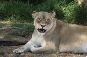 Lioness Showing Of Her Teeth