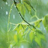 stock photo of creeper  - New Virginia Creeper, Early Summer Rainy Day, Rainstorm Rain, Gentle Parthenocissus Quinquefolia Bokeh Macro Closeup