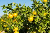 picture of valencia-orange  - Trees with orange typical in the province of Valencia Spain - JPG