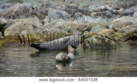 Harbor Seals in Svalbard