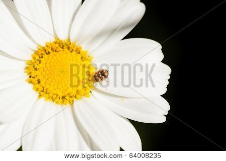 Small Bug On A Big Daisy