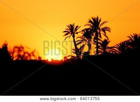 Morocco, sunset silhouette of palm trees