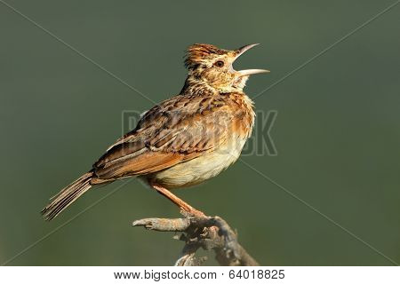 A rufous-naped lark (Mirafra africana) calling, South Africa