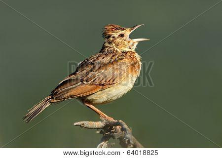 A rufous-naped lark (Mirafra africana) calling, South Africa