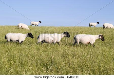 Three Sheep Crossing