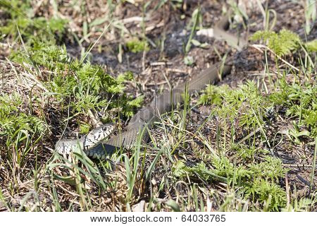 Grass Or Ringed Snake On The Ground
