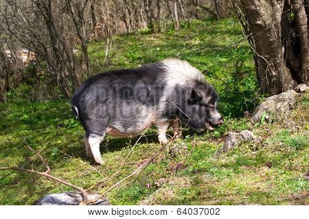 Large Dark Spotted Pig In The Forest Among The Trees