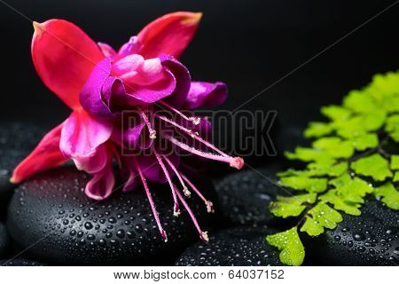 Spa Concept Of Beautiful Fuchsia Flower, Green Branch And Zen Stones With Drops On Black  Background