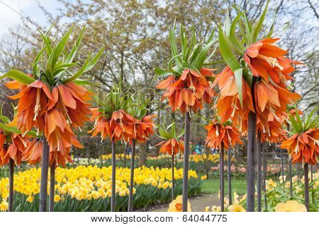 Colorful flowers and blossom in dutch spring garden Keukenhof Lisse Netherlands
