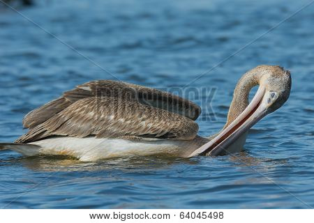 Pink-backed Pelican Draining Out Water Before Swallowing Trapped Fish