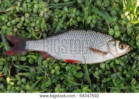 Fresh Fish Rudd