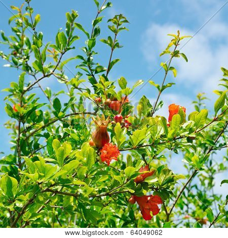 Pomegranate Tree With Flowers And Unripe Fruit