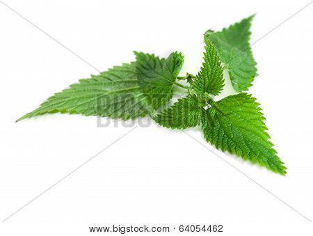 Medical Herbs - Leaf Of Nettle
