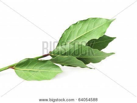Food  Ingredient -  Bay Leaf